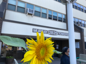 """Close-up of a sunflower with the """"Murray Towers"""" sign showing in the background"""